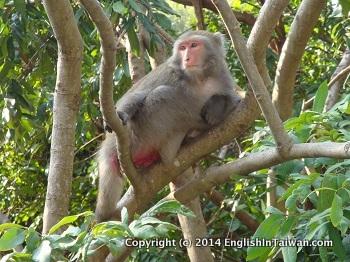 Chai shan Monkeys